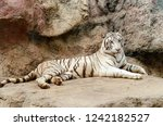 white bengal tiger resting on... | Shutterstock . vector #1242182527