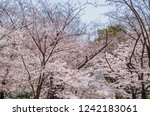cherry blossom blooming on the... | Shutterstock . vector #1242183061
