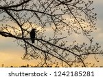 japanese black crow perched on... | Shutterstock . vector #1242185281