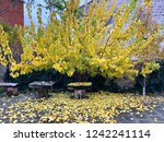falling leaves of apricot tree | Shutterstock . vector #1242241114