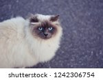 Himalayan Persian Cat With Blu...