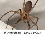 Brown Recluse Spider. Violin...