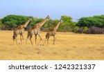 giraffes in hwange reserve in... | Shutterstock . vector #1242321337