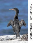 Flightless Cormorant ...
