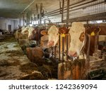 Milk Cows In An Rustic Cowshed...