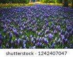 beautiful blue starch grape...   Shutterstock . vector #1242407047