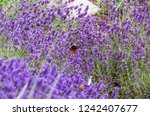 blue blooming lavender | Shutterstock . vector #1242407677