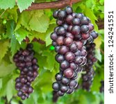 Ripening Grape Clusters On The...
