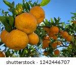 mandarin oranges ripeningon a... | Shutterstock . vector #1242446707