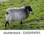 gray sheep grazing in a meadow | Shutterstock . vector #1242454591
