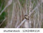 female common stonechat ... | Shutterstock . vector #1242484114