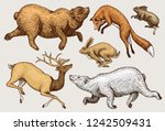 soaring red fox  hare rabbit ... | Shutterstock .eps vector #1242509431