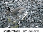Stock photo arctic hare lepus timidus male on ancient boulder beach at north hare molting from winter 1242530041