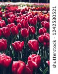 beautiful colorful red tulips...   Shutterstock . vector #1242530521