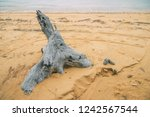 driftwood on the sandy beach.... | Shutterstock . vector #1242567544