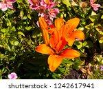 brilliant orange  oriental... | Shutterstock . vector #1242617941