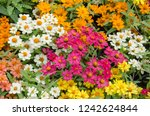 top view of colored zinnia... | Shutterstock . vector #1242624844