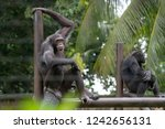 chimpanzees relaxing  playing...   Shutterstock . vector #1242656131