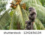 chimpanzees relaxing  playing...   Shutterstock . vector #1242656134