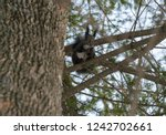 squirrel in the winter forest.... | Shutterstock . vector #1242702661