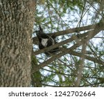 squirrel in the winter forest.... | Shutterstock . vector #1242702664
