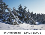 majestic white spruces  covered ... | Shutterstock . vector #1242716971