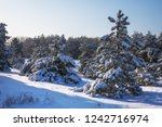 majestic white spruces  covered ... | Shutterstock . vector #1242716974