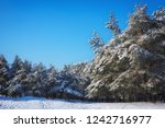 majestic white spruces  covered ... | Shutterstock . vector #1242716977
