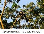 black and white ruffed lemur or ... | Shutterstock . vector #1242759727