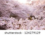 cherry blossoms | Shutterstock . vector #124279129