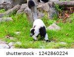 black and white ruffed lemur or ... | Shutterstock . vector #1242860224