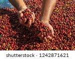 fresh arabica red coffee beans...   Shutterstock . vector #1242871621