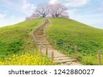 A stairway winding thru green grassy meadows to a hilltop with beautiful cherry blossom trees (Sakura) blooming under blue sky~Spring scenery of Japanese countryside in Saitama, Japan (Low angle view)