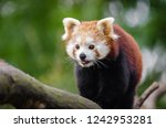 most adorable red panda | Shutterstock . vector #1242953281