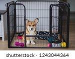 Stock photo cute welsh corgi pembroke puppy dog in a crate training sitting 1243044364