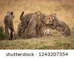 cubs nuzzle cheetah in grass... | Shutterstock . vector #1243207354