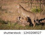 cubs nuzzle under cheetah... | Shutterstock . vector #1243208527