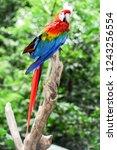 colorful arara parrot at iguazu ... | Shutterstock . vector #1243256554