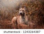dog breed belgian shepherd...   Shutterstock . vector #1243264387