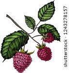 raspberry. illustration of hand ...   Shutterstock .eps vector #1243278157