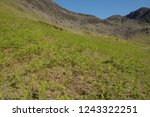young spring bracken  pteridium ... | Shutterstock . vector #1243322251