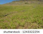 young spring bracken  pteridium ... | Shutterstock . vector #1243322254