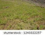 young spring bracken  pteridium ... | Shutterstock . vector #1243322257