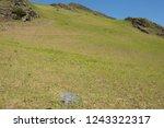 young spring bracken  pteridium ... | Shutterstock . vector #1243322317