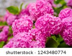 Small photo of This secret garden is utterly dreamy. Showy flowers in summer. Hydrangea blossom on sunny day. Flowering hortensia plant. Blossoming flowers in summer garden. Pink hydrangea in full bloom.