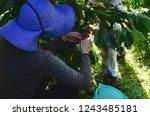 puerto rican coffee farmers ... | Shutterstock . vector #1243485181