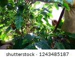 puerto rican coffee farmers ... | Shutterstock . vector #1243485187