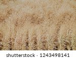 dried tall grass plants in fall | Shutterstock . vector #1243498141