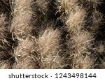 dried tall grass plants in fall | Shutterstock . vector #1243498144
