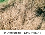 dried tall grass plants in fall | Shutterstock . vector #1243498147